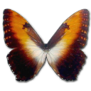 Morpho Hecuba sunset icon